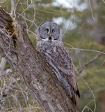 Groot Gray Owl Stock Foto