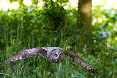 Groot Gray Owl of Grote Grey Owl Strix-nebulosa Stock Foto