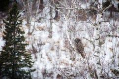 Groot Gray Owl op de tak van de Berkboom Stock Foto