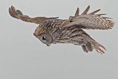 Groot Gray Owl, Strix-nebulosa, de jacht Royalty-vrije Stock Afbeelding