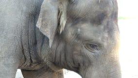 Groot Grey Elephant Stands in een Dierentuin op Sunny Day in de Zomer stock footage