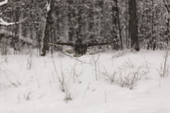 Groot Grey Ow tijdens de vlucht Stock Foto's