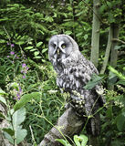 Groot Grey Owl Stock Fotografie