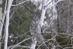 Groot Grey Owl Royalty-vrije Stock Afbeeldingen