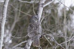 Groot Grey Owl Stock Afbeeldingen