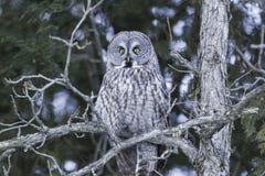 Groot Grey Owl Stock Afbeelding