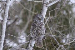 Groot Grey Owl Royalty-vrije Stock Foto