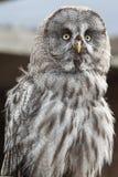Groot Grey Owl Stock Foto's