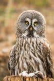 Groot Grey Owl met dode muizen Stock Fotografie