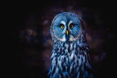 Groot Grey Owl (ook getaande gier, Wetenschap Strixnebulosa) is een grote uilfamilie van uilen Het mooie wild stock foto's