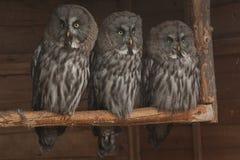 Groot Grey Owls Stock Foto