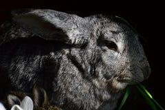 Groot grijs wijfje geacclimatiseerd konijn Oryctogalus die vers groen gras eten stock fotografie