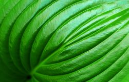Groot groen blad royalty-vrije stock afbeeldingen