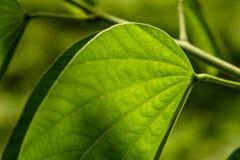 Groot groen blad die met zonlicht op het glanzen Stock Foto's
