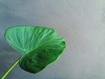 Groot groen blad, Oorolifant of Reuzealocasia royalty-vrije stock afbeeldingen