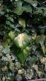 Groot groen bladeren en gebladerte Stock Afbeelding