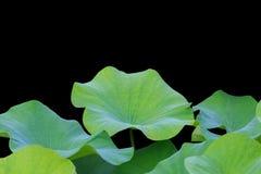 Groot groen die lotusbloemblad op wit wordt geïsoleerd Gespaard met het knippen van weg royalty-vrije stock fotografie