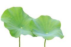 Groot groen die lotusbloemblad op wit wordt geïsoleerd Gespaard met het knippen van weg stock fotografie