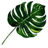 Groot groen geïsoleerd blad van Monstera-installatie, Royalty-vrije Stock Fotografie