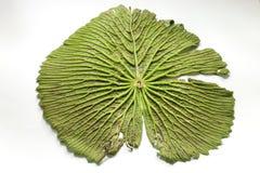 Groot groen lotusbloemblad Stock Afbeelding