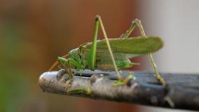 Groot groen sprinkhanenmannetje stock videobeelden
