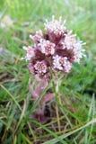 Groot hoefblad (hybridus of officinalis van Petasites) Royalty-vrije Stock Afbeeldingen