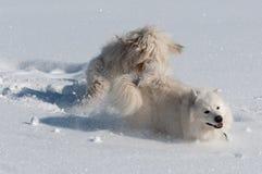 Groot hondenspel Royalty-vrije Stock Foto