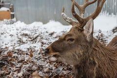 Groot hoofd van een hert met hoornen in het de winterclose-up in het vogelhuis Zoogdieren met hoornen, royalty-vrije stock fotografie