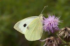 Groot koolwitje, Large White, Pieris brassicae royalty free stock images