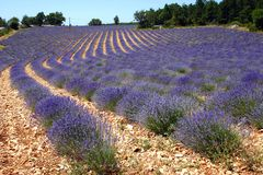 Groot lavendelgebied royalty-vrije stock foto's