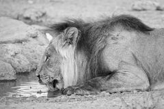 Groot leeuw mannelijk drinkwater van een kleine pool in de Kalahari Stock Fotografie