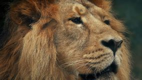 Groot Lion Looking Around Portrait