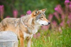 Groot Mannelijk Wolf Standing On Field In-Bos royalty-vrije stock foto's