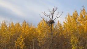 Groot nest op een droge boom in het de herfstbos onder gele bladeren stock footage