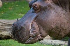 Groot nijlpaard Royalty-vrije Stock Afbeeldingen