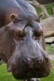 Groot nijlpaard Stock Foto's
