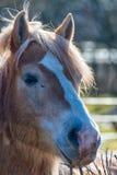 Groot paardhoofd Royalty-vrije Stock Foto