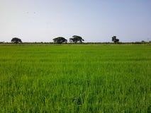 Groot padieveld en brede lichte hemel royalty-vrije stock afbeeldingen