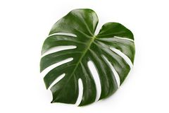 Groot Palmblad royalty-vrije stock foto's