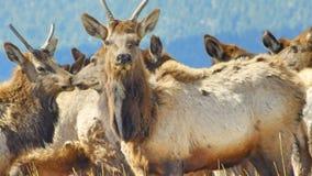 Groot Rocky Mountain Bull Elk stock foto's