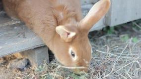 Groot rood konijn op een klein landbouwbedrijf stock footage