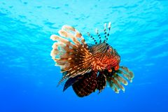 Groot Rood Lion Fish royalty-vrije stock fotografie