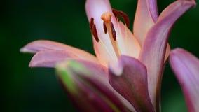 Groot roze lelieclose-up stock video