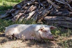Groot roze varken stock afbeelding