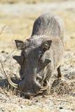 Groot slagtand mannelijk wrattenzwijn Stock Foto's