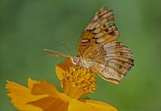 Groot Spangled Fritillary-Vlindervoer op gele Zinnia stock foto