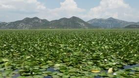 Groot tapijt van waterleliebloemen die een natuurreservaatmeer behandelen stock videobeelden