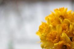 Groot-tot een kom gevormde Gele narcis Stock Fotografie