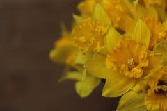 Groot-tot een kom gevormde Gele narcis Stock Afbeeldingen