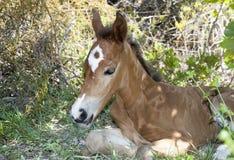 Groot Turk Island Foal stock foto's